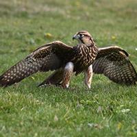 Falcon1
