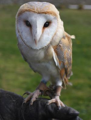 falconry-right